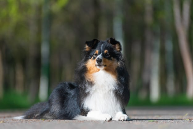 Sheltie Training Tips